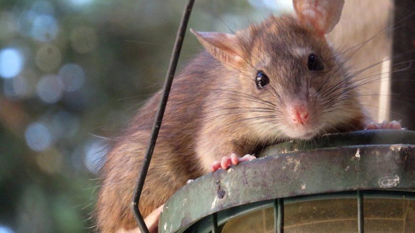 Quelques astuces pour se débarrasser des rats sans l'usage d'un poison